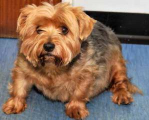 Biewers And Yorkshire Terriers Of Calaryn - Dog Breeders