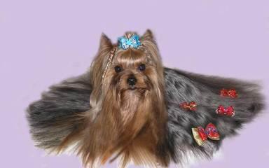 Sweet Yorkie Kisses - Dog Breeders