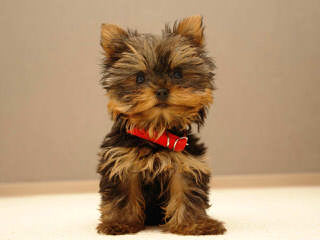 Brummel Country Charm - Dog and Puppy Pictures