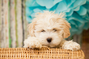 Shichon or Zuchon Puppies - Dog Breeders