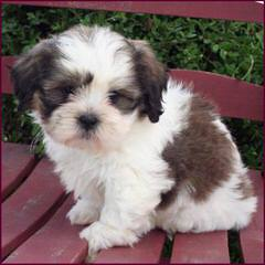 Tiny Teddy Bear Zuchons - Dog Breeders