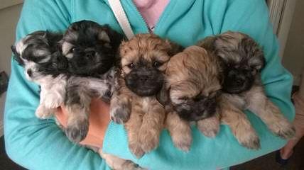 Best Home Raised Zuchon Pups In Pa - Dog Breeders