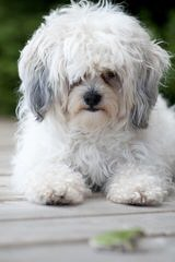 Adorable, Lovable Zuchons - Dog Breeders