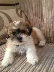 Rolling Meadows Maltipoo, Poochon, Zuchon, Yochon Puppies - Dog Breeders