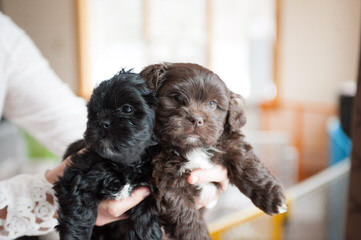 Shichon Puppies Available - Dog Breeders