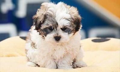 Shichon Or Zuchon - Dog Breeders