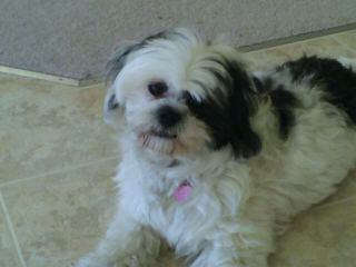 Prairie View's Shihpoos & Shichons - Dog and Puppy Pictures