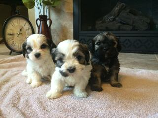 Shih Tzu Bichon Puppies Ready Now! - Dog Breeders