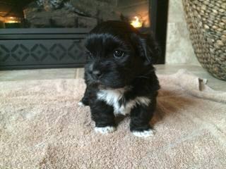 FuzzyWuzzyPups - Dog Breeders