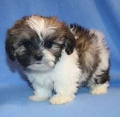 White Light Kennel Home Rasied Zuchons We Have Puppies Right Now - Dog Breeders