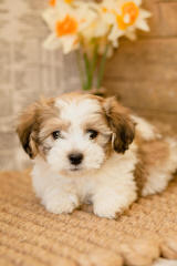 Timbercreek Puppies Shihtzu Shichon Zuchon - Dog Breeders