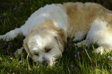 Shih Tzu Bichon Puppies Ready Now! - Dog Breeders