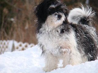 Shichon Or Zuchon - Dog Breeders