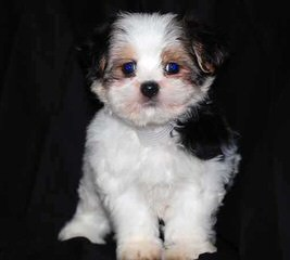 Fuzzy Bear Puppies Shichons - Dog Breeders