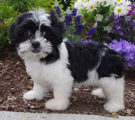 North Country Kennels – We Specialize In Mixes! Shih Chons And Poo Chons - Dog Breeders
