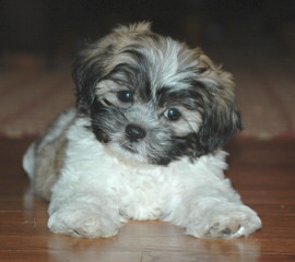 Shichon or Zuchon Puppies - Dog Breeders