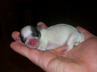Rose Cottage Shichons - Dog Breeders