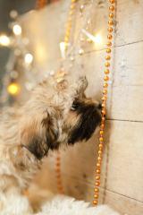 Adorable Shichons - Dog Breeders