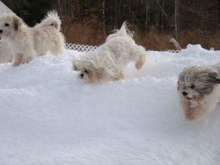 Rolling Meadows Maltipoo, Poochon, Zuchon, Yochon Puppies - Dog Breeders