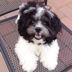 Designer Teddy Bear Puppies - Dog Breeders