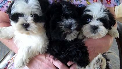 Prairie View's Shihpoos & Shichons - Dog Breeders